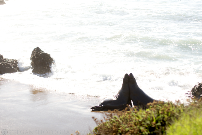 elephant_seal  002