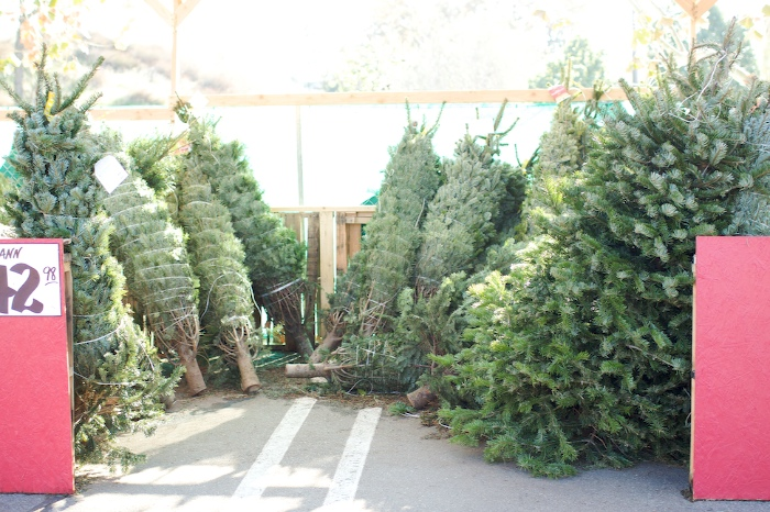 getting our Christmas tree – Those Crazy Schuberts