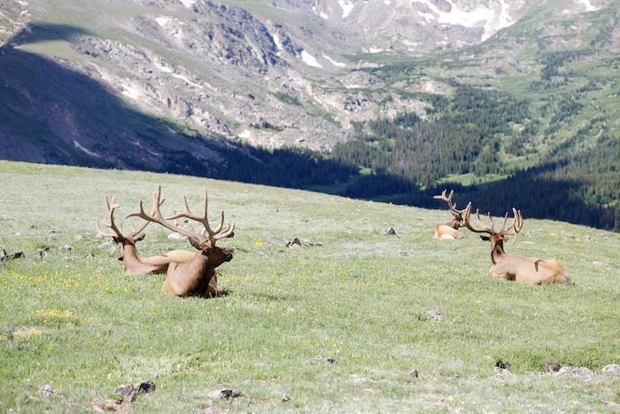 Rocky Mountain National Park elk
